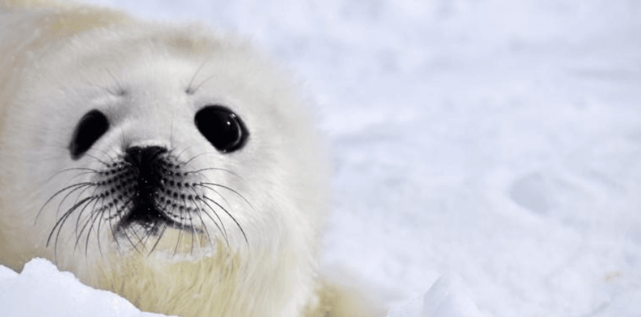 Sierra Magazine: Up Close with Quebec's Baby Seals